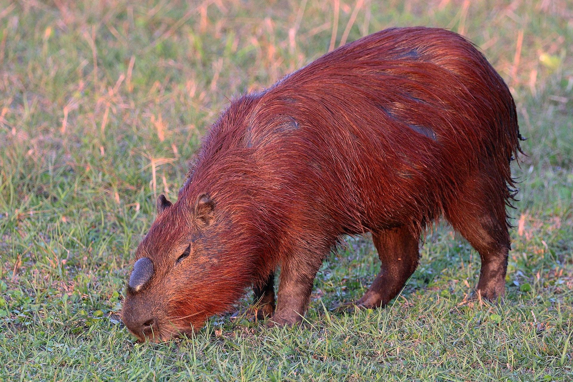 Patch 8 1 PTR 27826 - New Creature Models - Air Elemental, Capybara